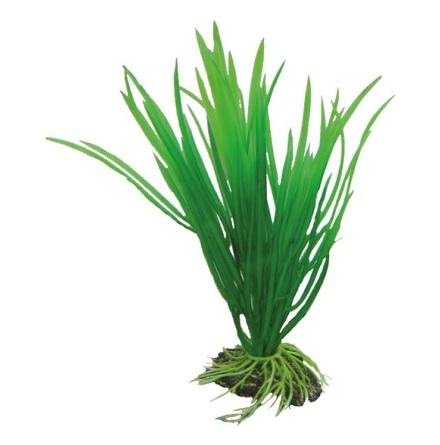Cyperus 16cm
