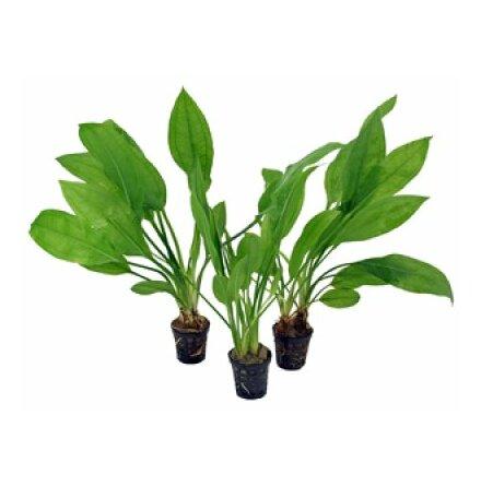 Echinodorus Bleheri Amazon svärdplanta Tropica