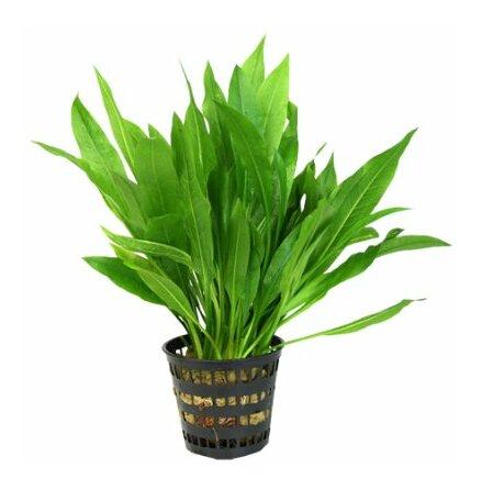 Echinodorus amazonicus, Amazon svärdplanta