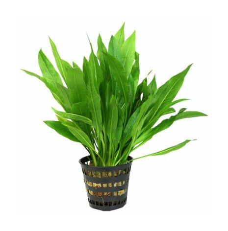 Echinodorus amazonicus, svärdplanta