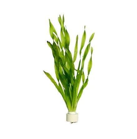 """Vallisneria Asiatica """"Spiralis"""""""