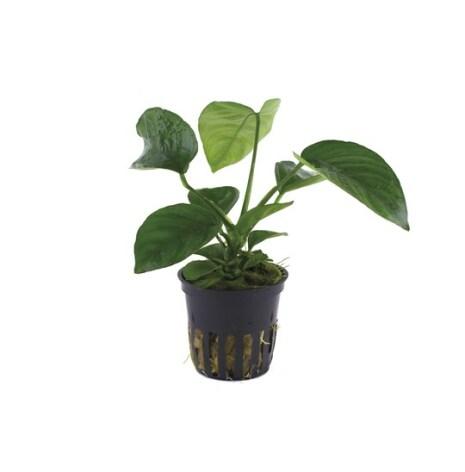 Anubias Barteri var Caladiifolia Tropica