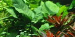 Anubias Barteri var Caladiifolia