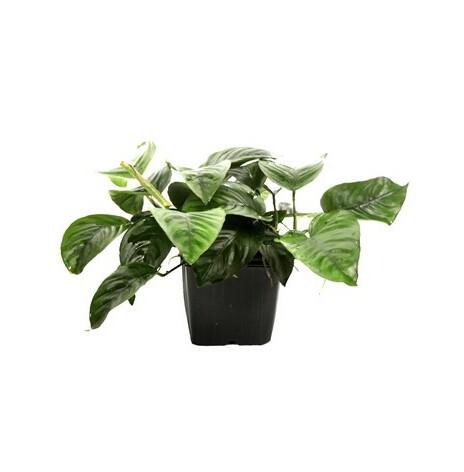 Anubias barteri var, caladiifolia moderplanta Tropica