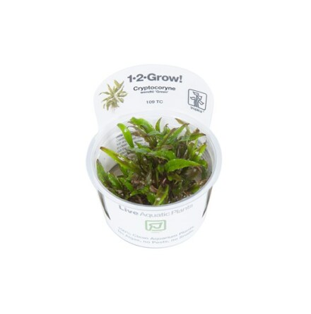 Cryptocoryne Wendtii Green 1-2 Grow