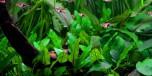 Cryptocoryne Wendtii Green 1-2-Grow Tropica