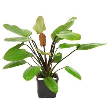 Echinodorus Amazon svärdplantor