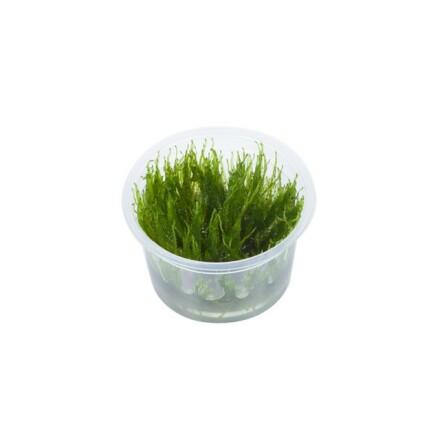 Taxiphyllum ´Taiwan mossa´ 1-2-Growe Tropica