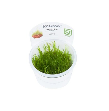 Taxiphyllum barbieri 1-2-Grow