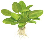 Echinodorus 'Aquartica'