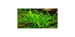 Sagittaria Subulata 1-2-Grow