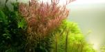 Rotala rotundifolia i kruka
