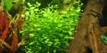Lindernia rotundifolia i kruka Tropica