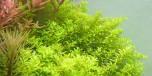 Micranthemum umbrosum i kruka