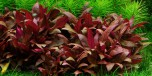 Alternanthera reineckii 'Mini' 1-2-Grow
