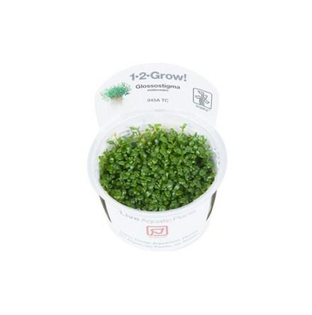 Glossostigma elatinoides Tropica 1-2-Grow