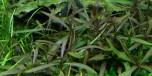 Hygrophila ´Araguaia´ 1-2-Grow Tropica