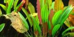 Echinodorus Red Diamond Green