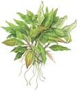 Hygrophila Compact i kruka Tropica