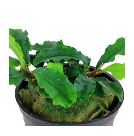 Bucephalandra Pygmea Wavy Green