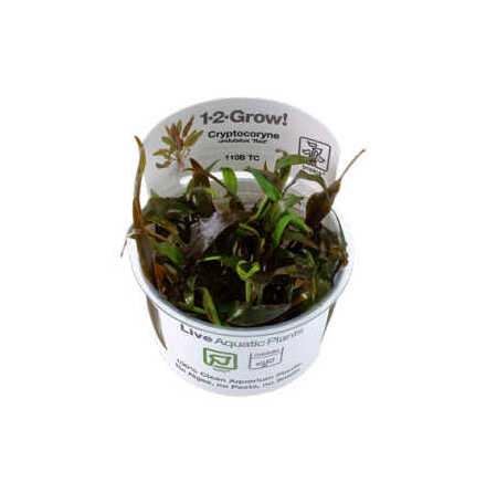 Cryptocoryne undulatus Red 1-2 Grow