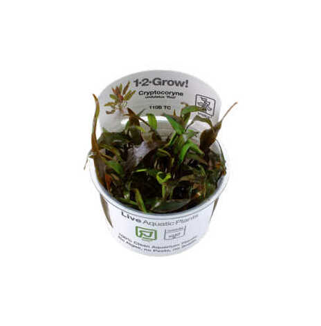 Cryptocoryne undulatus Red 1-2-Grow