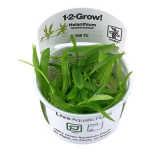 Helanthium Quadricostatus 1-2-Grow
