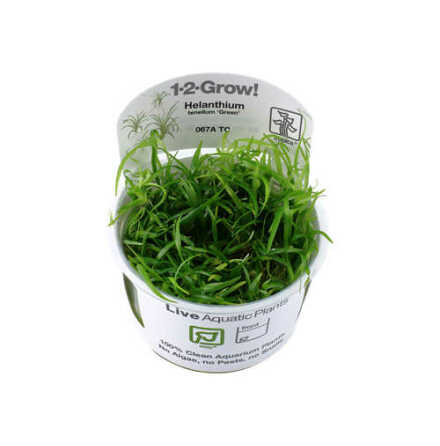 Helanthium tenellum Green 1-2-Grow