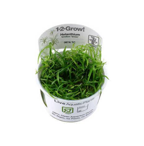 Helanthium tenellum Green 1-2-Grow