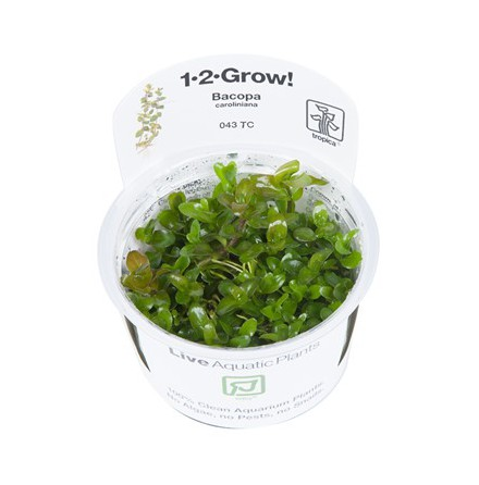 Bacopa Caroliniana 1-2 Grow