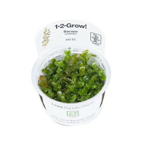 Bacopa Caroliniana 1-2-Grow