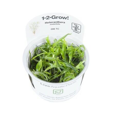 Heteranthera zosterifolia 1-2-Grow