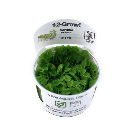 Salvinia auriculata 1-2-Grow