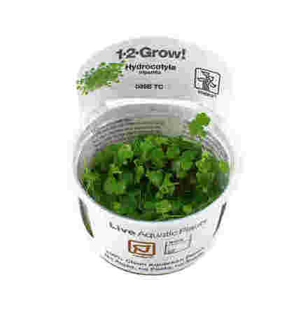 Hydrocotyle tripartita 1-2 Grow