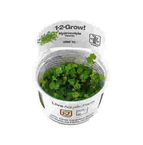 Hydrocotyle tripartita 1-2-Grow