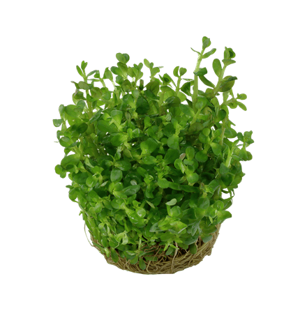 Rotala `Bonsai´1-2 Grow stamväxt