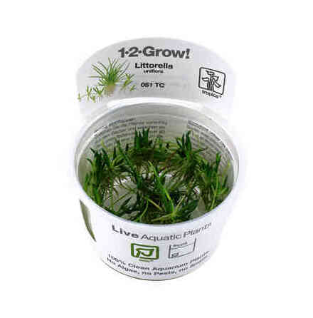 Littorella uniflora 1-2 Grow