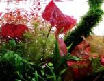 Nymphaea lotus i kruka