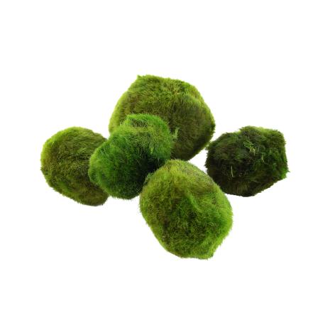 Cladophora aegagropila Mossball