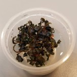 Bucephalandra Kedangang 1-2 grow Limited Edition