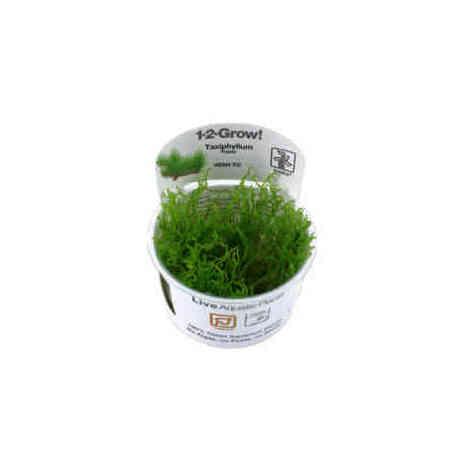Taxiphyllum Flame 1-2 Grow, Tropica