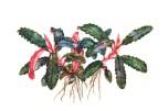 Bucephalandra Kedagang i kruka Tropica