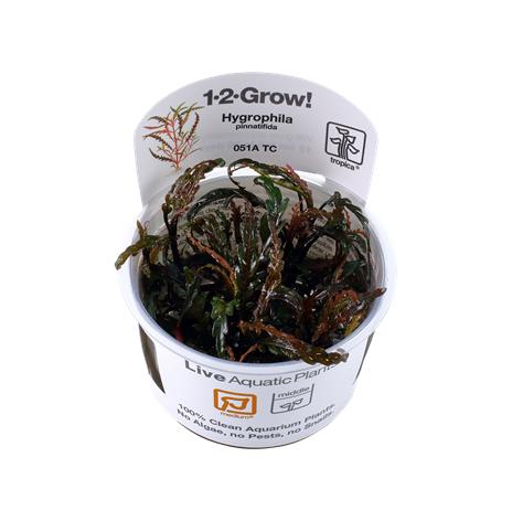 Hygrophila Pinnatifida 1-2 Grow