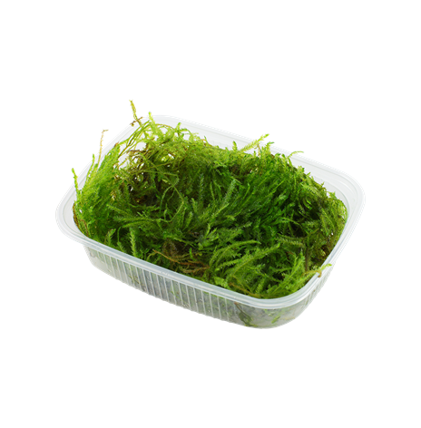 Taxiphyllum Spiky portion