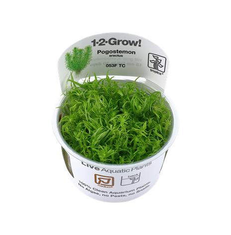 Pogostemon Erectus 1-2 Grow