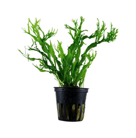 Microsorum pteropus Windelöv