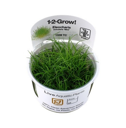 Eleocharis acicularis Mini 1-2 grow
