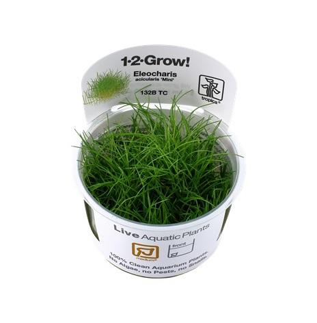 Eleocharis acicularis Mini 1-2 grow