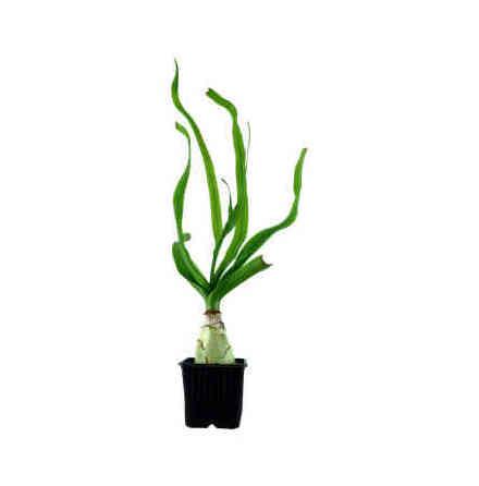 Crinum Thaianum Tropica