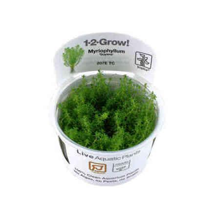 Myriophyllum Guyana 1-2 Grow
